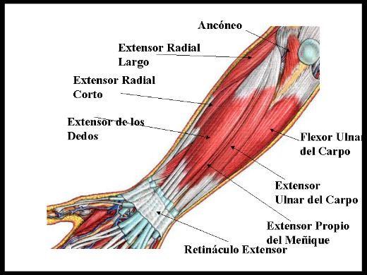 Musculatura Antagonista del Antebrazo - Boulder Madrid